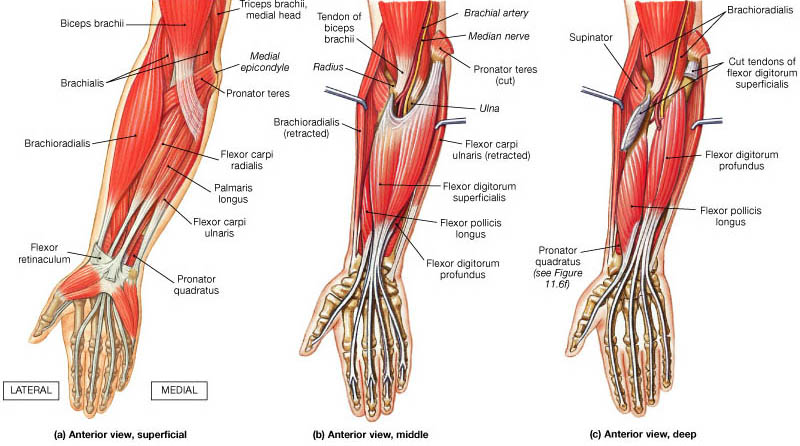 Flexor Muscles of Hand and Wrist