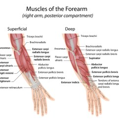 Muscle Diagram Dorsal Trail Tech Wiring Copy For Trailer Elisaymk Muscles Of Hand And Wrist Bone Spine Extensor Forearm