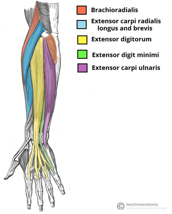 Superficial Extensor Muscles of Hand and Wrist