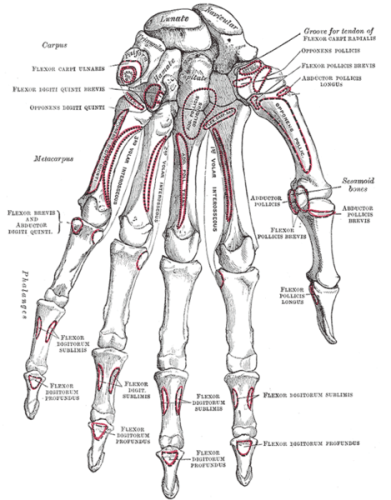 Bones of the hand palmar view