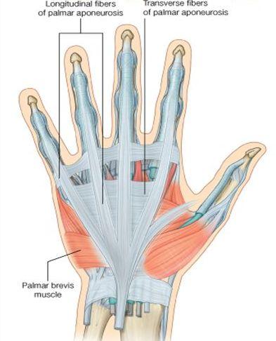 Palmar Aponeurosis and flexor retinaculum