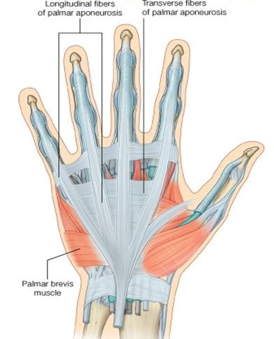 Hand Anatomy and Function | Bone and Spine