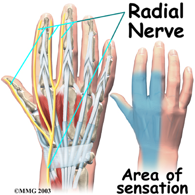 Radial nerve in hand