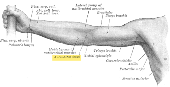 Cubital Fossa Anatomy and Significance