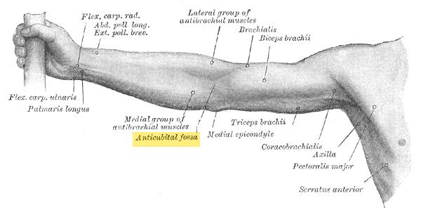 Cubital Fossa Location