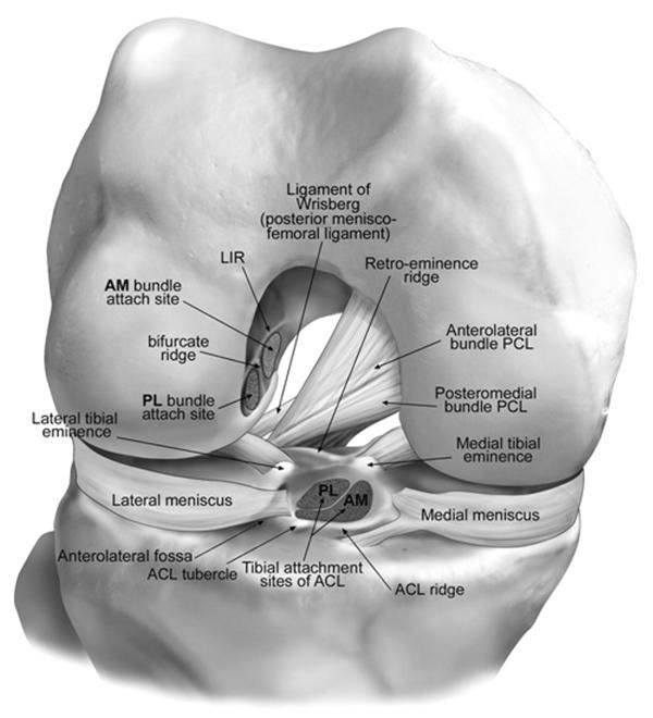 Knee Ligaments femoral and tibial insertions,