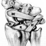 Dorsal Ligaments of Wrist,