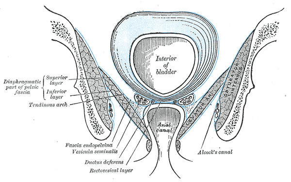 pudendal canal, PD wikipedia