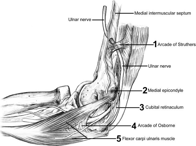 Ulnar Nerve Anatomy, Course and Supply | Bone and Spine