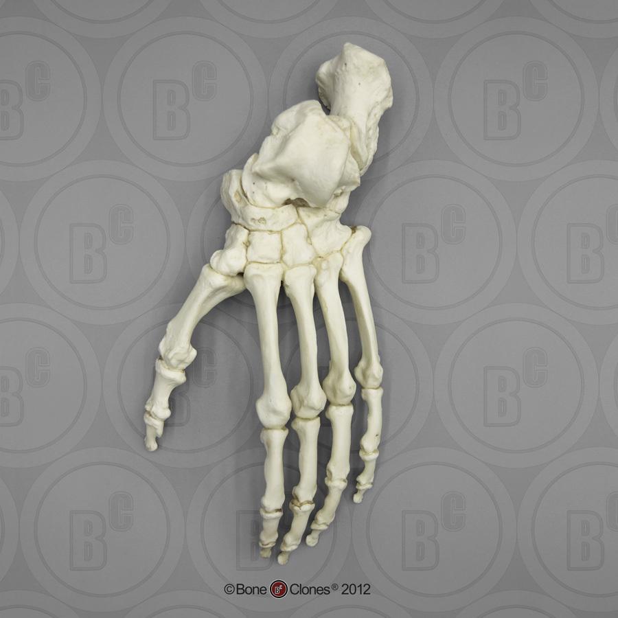 medium resolution of gorilla foot articulated rigid