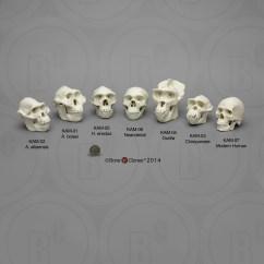 Chimpanzee Skull Diagram Usha Ceiling Fan Wiring Set Of 7 Primate Skulls Half Scale Bone Clones Inc