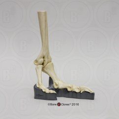 Ostrich Skeleton Diagram Visio Activity Articulated Foot Bone Clones Inc Osteological