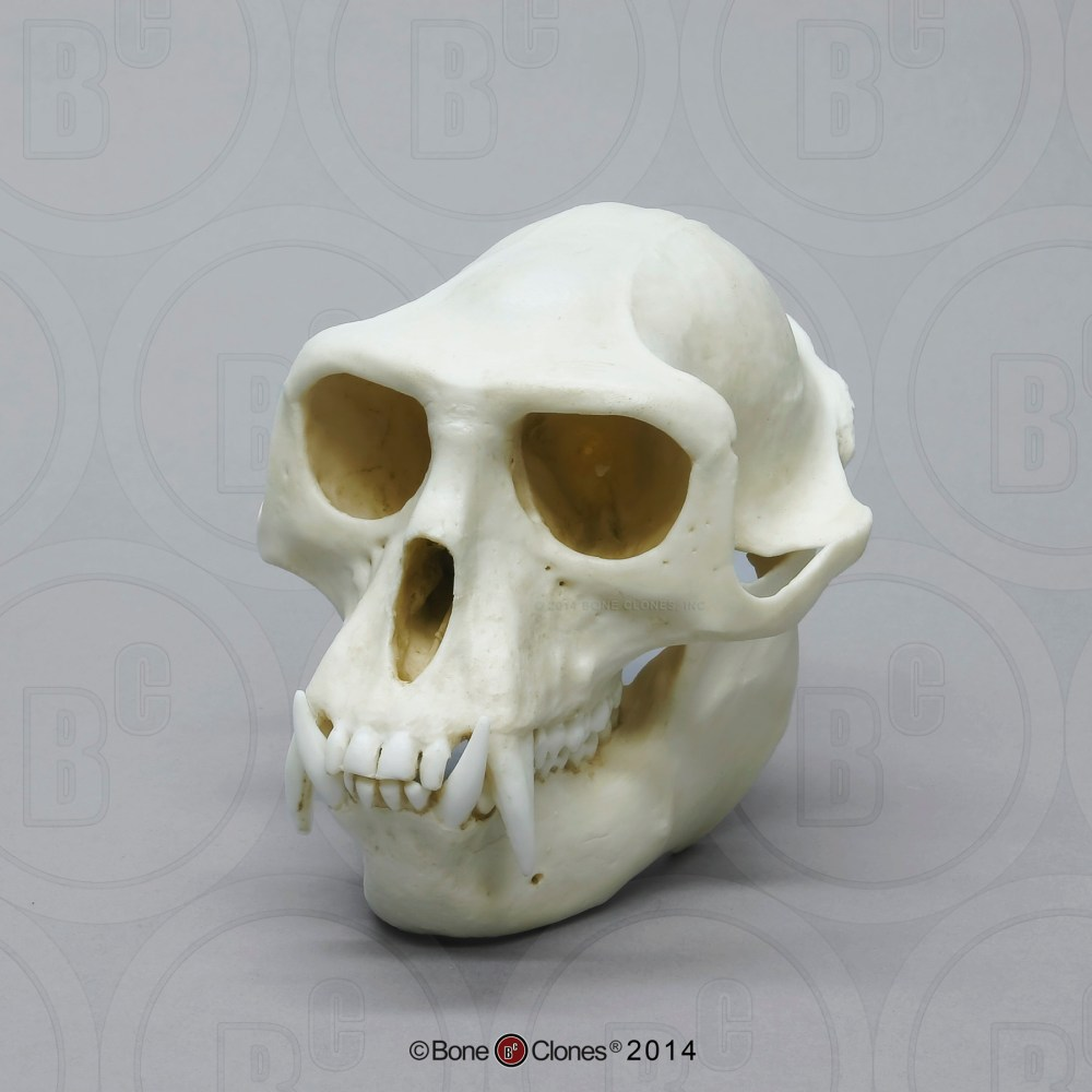medium resolution of hanuman langur skull