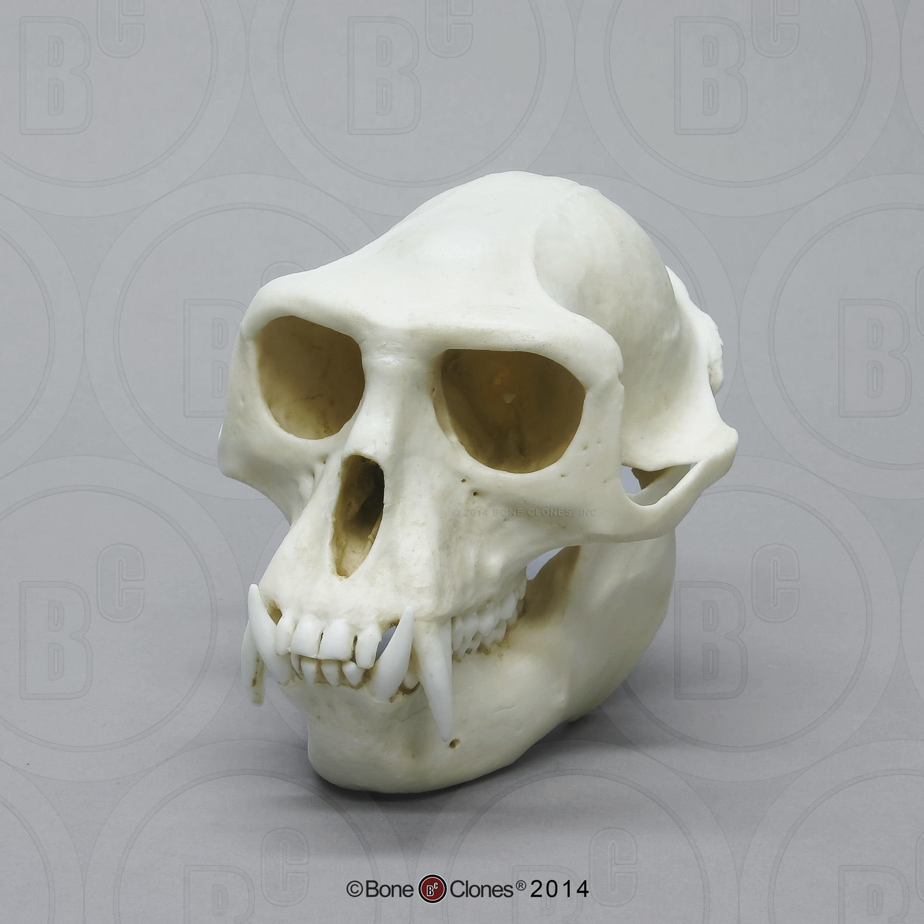hight resolution of hanuman langur skull