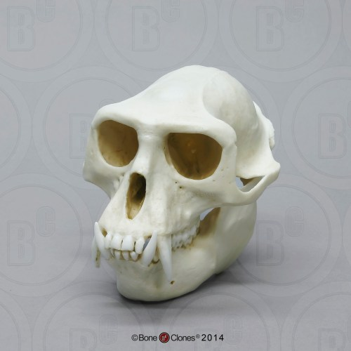 small resolution of hanuman langur skull