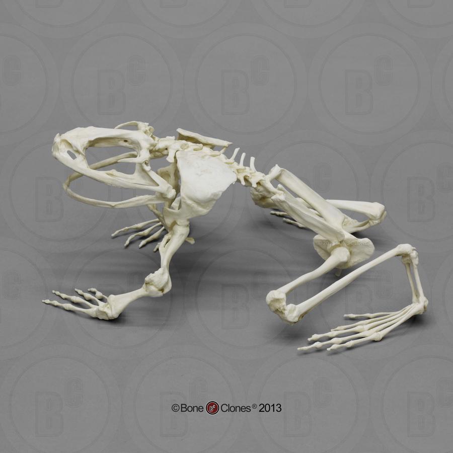 medium resolution of articulated goliath frog skeleton