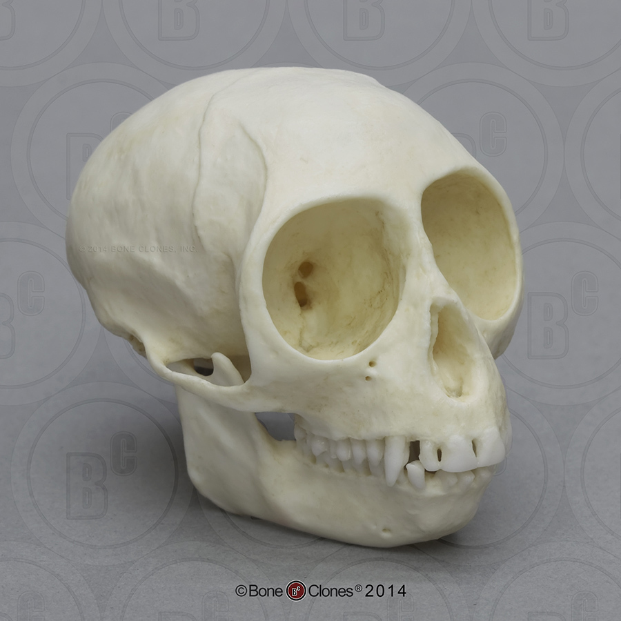 hight resolution of talapoin monkey skull