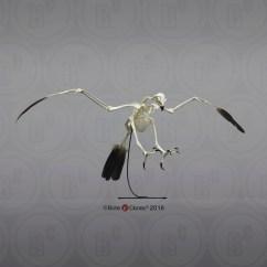 Golden Eagle Skeleton Diagram Visual Studio Database Project Articulated Bald Bone Clones Inc Osteological
