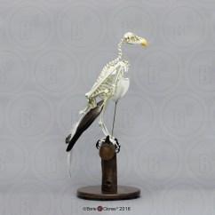 Golden Eagle Skeleton Diagram 2003 Dodge Ram Headlight Switch Wiring Articulated Bald Bone Clones Inc Osteological Tags