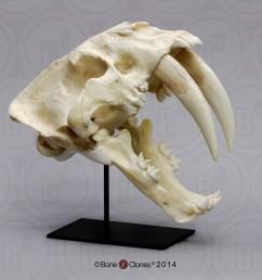 sabertooth cat south american smilodon populator skull [ 1000 x 1000 Pixel ]