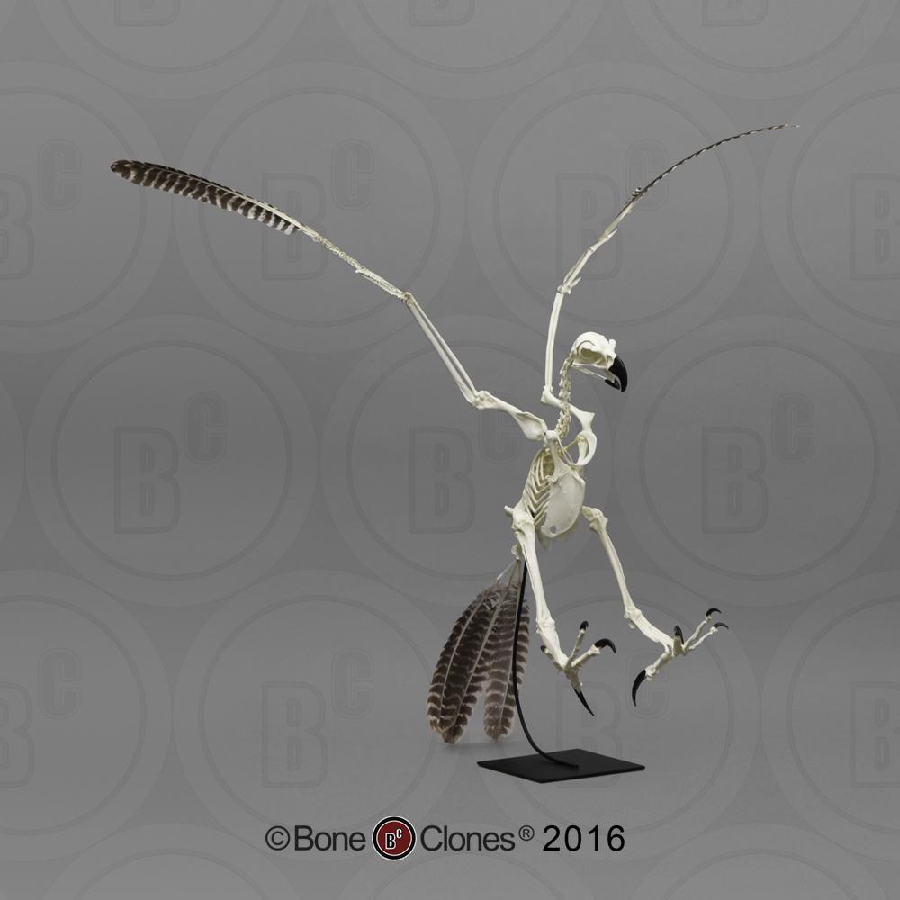 golden eagle skeleton diagram vw t5 towbar wiring articulated bald bone clones inc osteological harpy