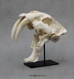 sabertooth cat smilodon skull antique finish [ 1000 x 1000 Pixel ]