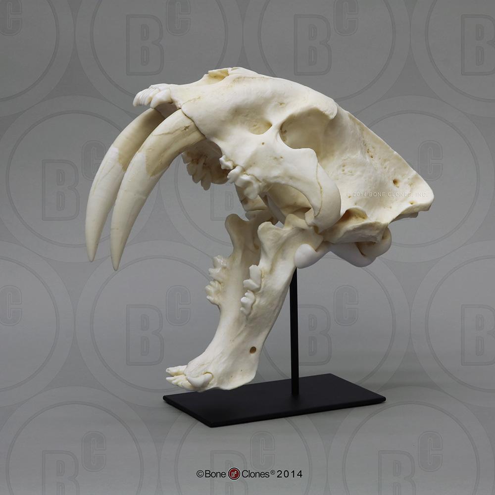 medium resolution of sabertooth cat smilodon skull antique finish