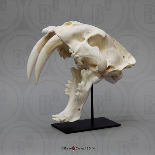 small resolution of sabertooth cat smilodon skull antique finish