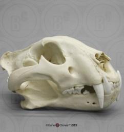 bengal tiger skull male [ 1000 x 1000 Pixel ]