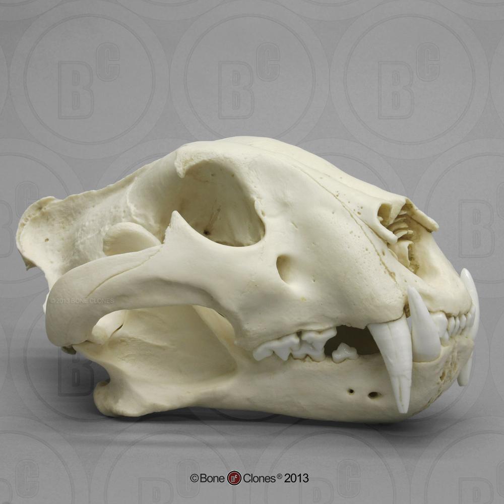 medium resolution of bengal tiger skull male