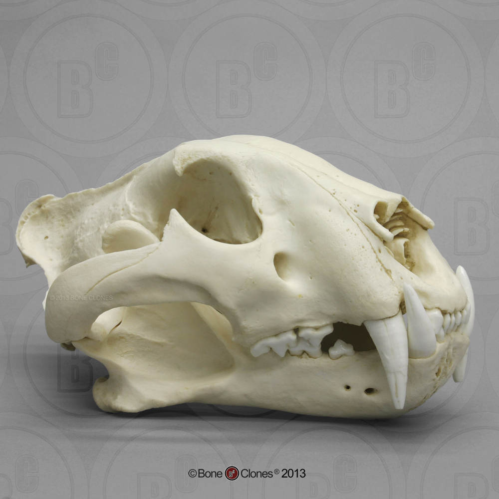 hight resolution of bengal tiger skull male