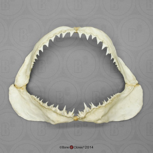 Great White Shark Jaw Small - Bone Clones