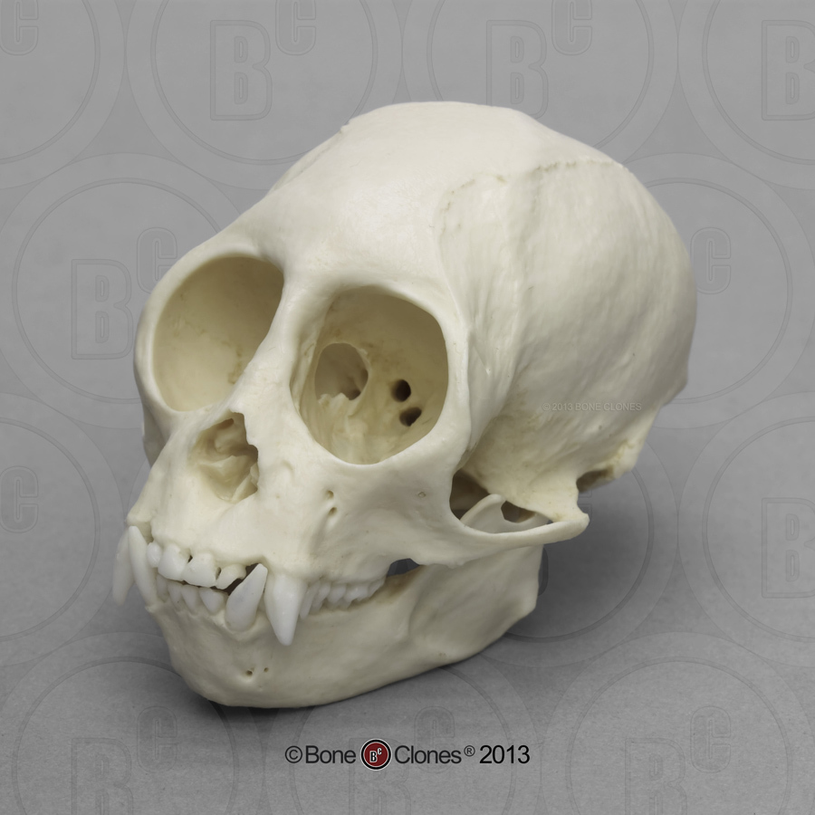 hight resolution of squirrel monkey skull