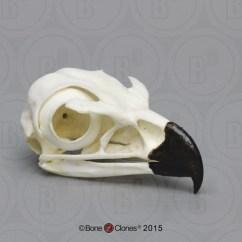 Golden Eagle Skeleton Diagram Labelled Of Agama Lizard Skull Bone Clones Inc Osteological Reproductions