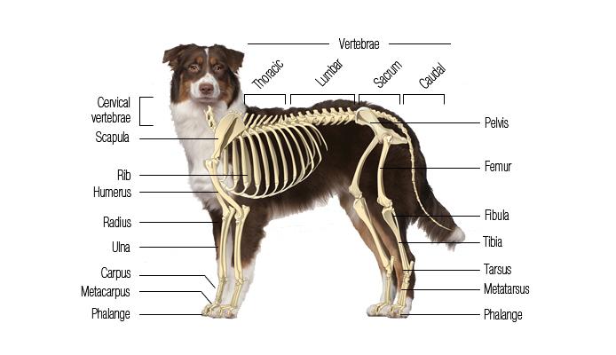 dog vital organs diagram wiring for car amplifier canine skeletal system boneo
