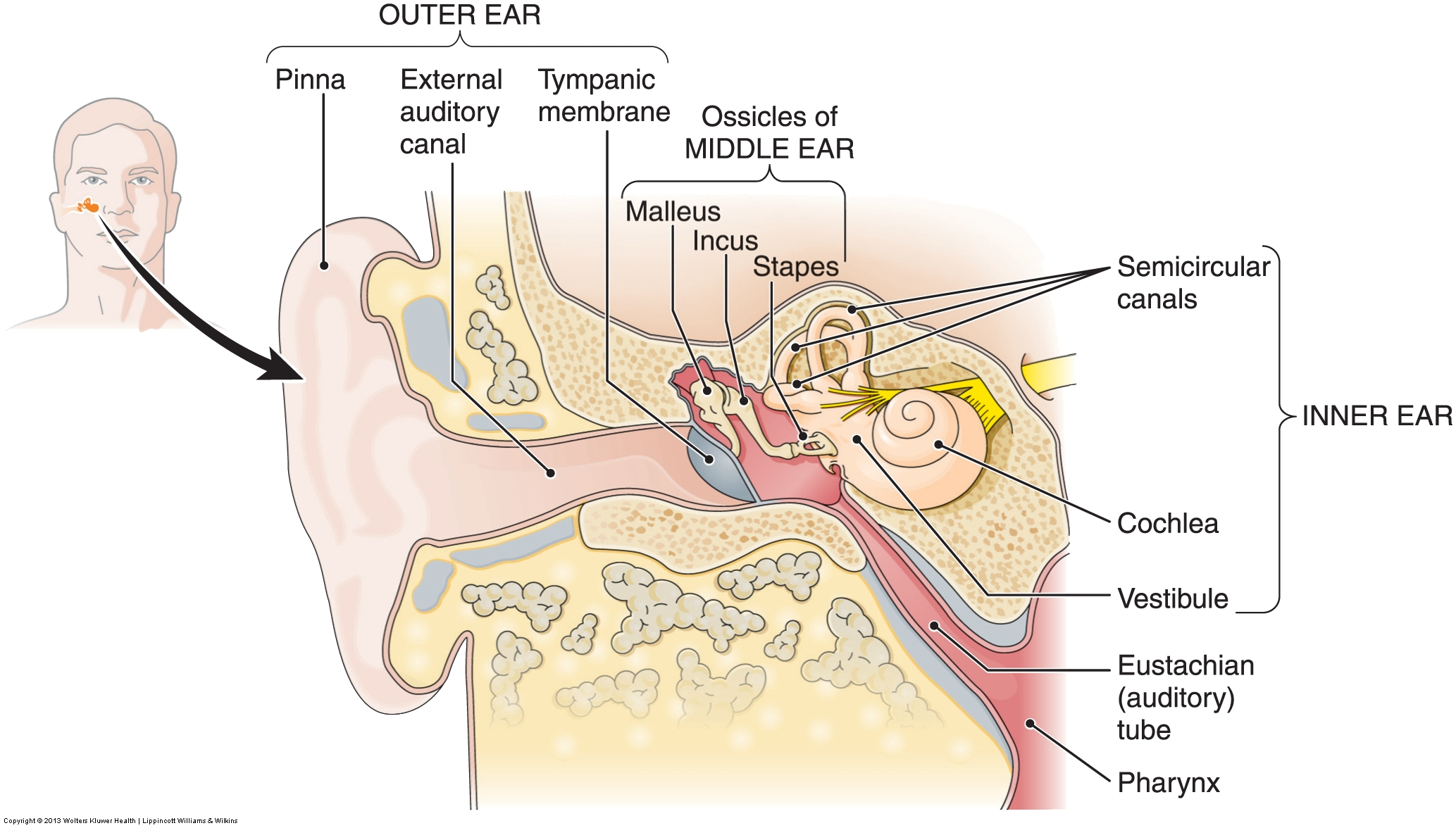ear anatomy diagram quiz 2000 bmw 323i stereo wiring skin labeling free engine image for user