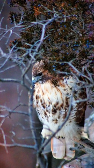 Red tail hawk.