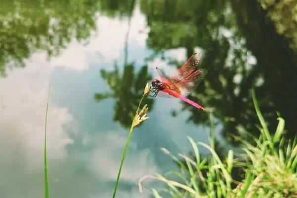 Photographiez des libellules lorsque vous recensez des mares