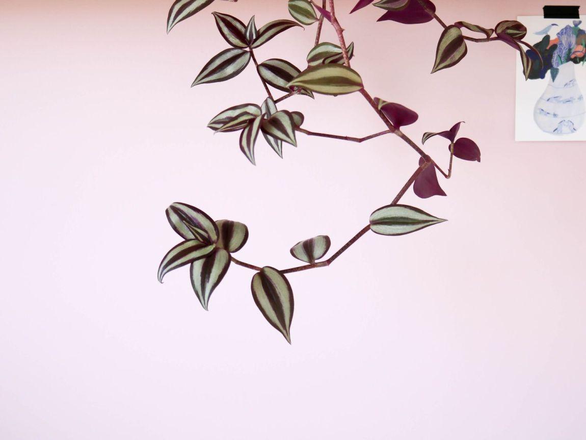 Plante Exterieur Qui Aime L Eau la misère : une plante facile à entretenir et à bouturer