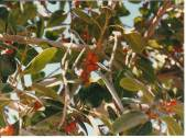 Birds often gather to eat the fruit of the ficus tree.