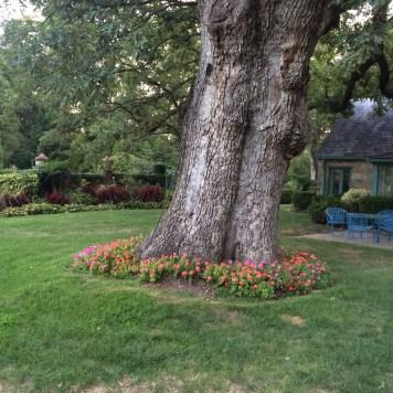 Leaning oak tree 2015