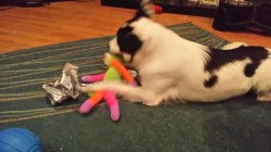 Bonnie the Border Collie playing with a soft toy monkey