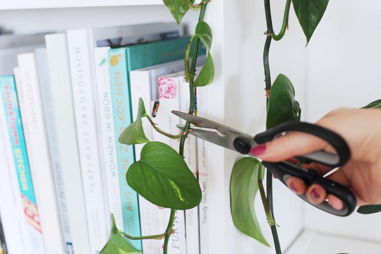 Zimmerpflanzen vermehren durch Stecklinge