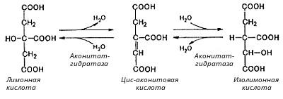какова роль ферментативного конвейера цикл кребса