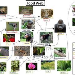 Savanna Animal Food Chain Diagram Lan Plug Wiring The Role In Web - Kathleen's Site