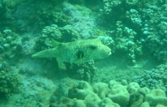 Spiny Pufferfish