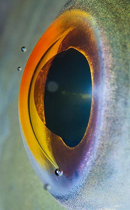 hayvan gözü balık