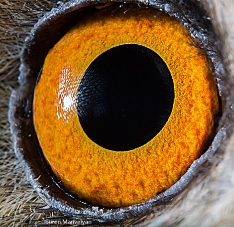 hayvan gözü kulaklı orman baykuşu