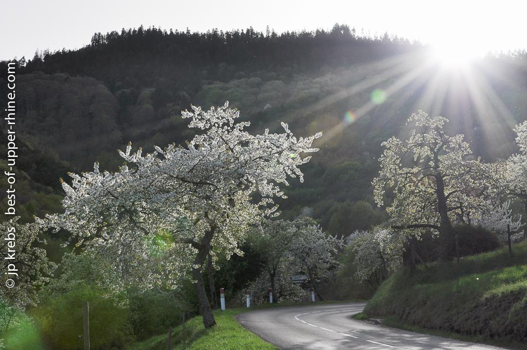 cerisiers en fleurs sur la route de Thannenkirch