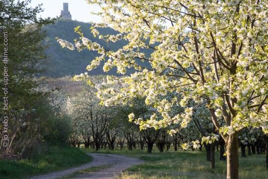 Le château médiéval de l'Ortenbourg surplombe les cerisiers en fleurs.